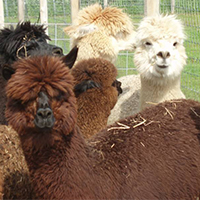 Smith-Mountain-Lake-Farm-Alpacas